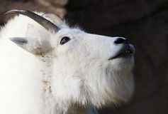Mountain Goat Looking up Stock Image