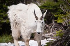 Mountain goat looks down Stock Images