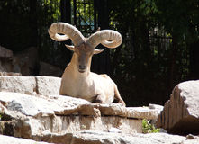 Mountain goat lying on the rocks. Close-up Stock Photos