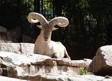Mountain goat lying on the rocks. Stock Photos