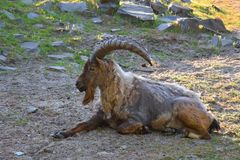 Mountain goat lying on a rocky surface in a zoo pen stock photos