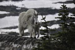 Mountain goat mamma and baby stock photography