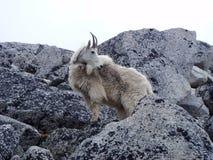 Mountain Goat, Mammal, Fauna, Goats stock photo
