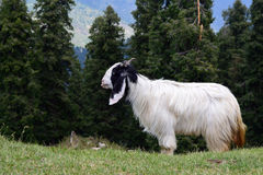 Mountain Goat on morning graze ! Stock Image
