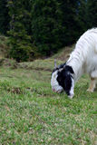 Mountain Goat on morning graze ! Royalty Free Stock Photos