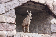 A mountain goat is in the Moscow zoo Stock Photography