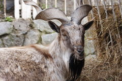 A mountain goat is in the Moscow zoo. Russia Stock Photos