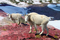 Mountain Goat Mother and Baby. Mountain Goats (Oreamnos americanus) at Sperry Glacier in Glacier National Park - Montana stock photos