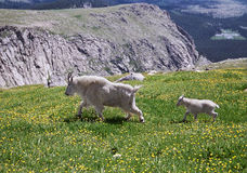 Mountain Goat Mother and Her Kid Stock Photo