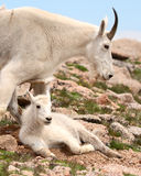 Mountain Goat Mother And Kid stock photo