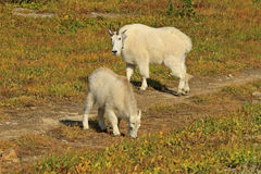 Mountain Goat Mother and Kid, Glacier National Park Royalty Free Stock Photo