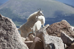 Mountain Goat Mother and Kids. Adult Mountain Goat with Young Kids Royalty Free Stock Photo