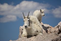 Mountain Goat Mother royalty free stock photography