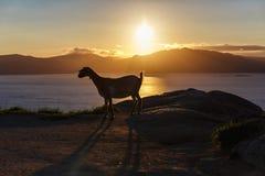 Mountain goat at sunrise Royalty Free Stock Images
