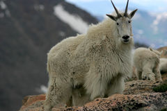 Mountain goat mt. Evans 2 royalty free stock image