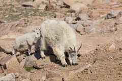 Mountain Goat Nanny and Her Kid Royalty Free Stock Images