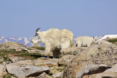 Mountain Goat Nanny and Kid Stock Photo