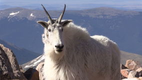 Mountain Goat Nanny and Kid. A mountain goat nanny and kid in the Colorado high country stock video
