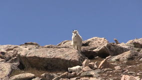 Mountain Goat Nanny and Kid in Colorado. A mountain goat nanny and kid in the Colorado high country stock video footage