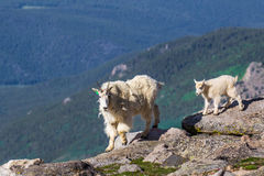 Mountain Goat Nanny and Kid Royalty Free Stock Images