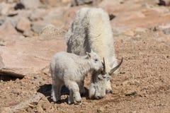 Mountain goat Nanny and Kid Royalty Free Stock Photo