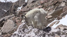Mountain goat nanny and kid in rocks. A mountain goat nanny and kid in the Colorado high country stock video footage