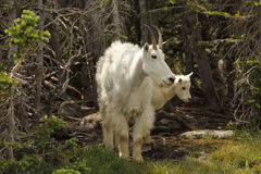 Mountain goat nanny with kid Royalty Free Stock Images