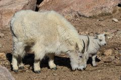 Mountain Goat Nanny and Kid Walking Stock Images
