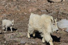 Mountain Goat Nanny and Kid Walking Royalty Free Stock Images