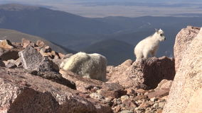 Mountain Goat Nanny and Kids. In the Colorado high country stock video