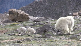 Mountain Goat Nanny and Kids Grazing. A mountain goat nanny with her kids in the rugged Colorado high country stock video