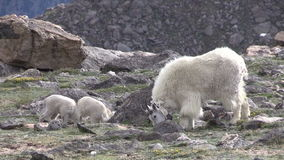Mountain Goat Nanny and Kids. A mountain goat nanny with her kids in the rugged Colorado high country stock video