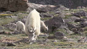 Mountain Goat Nanny and Kids. A mountain goat nanny and kids in the rugged Colorado high country stock video