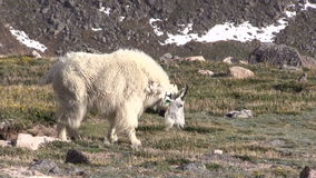 Mountain Goat Nanny. A mountain goat nanny in the rugged Colorado high country stock video footage