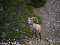 Mountain Goat in National Park. Standing in front of large mountain and lush green trees royalty free stock photography