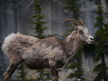 Mountain Goat in National Park. Standing in front of large mountain and lush green trees stock photography