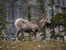 Mountain Goat in National Park. Standing in front of large mountain and lush green trees stock photos