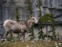 Mountain Goat in National Park. Standing in front of a mountain with trees and grass stock photo