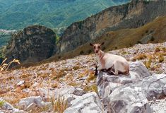Mountain goat in natural habitat Royalty Free Stock Photos