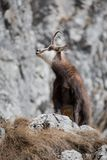 Mountain goat in natural habitat Royalty Free Stock Photo