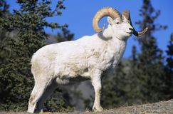 Mountain Goat Near Forest Royalty Free Stock Photos