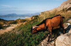 Mountain goat nibbles a grass on Cap Formentor in Mallorca. Mountain goat nibbles a juicy green grass close up on Cap Formentor in Mallorca, Balearic island Royalty Free Stock Image