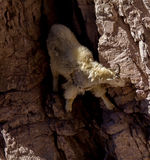 Mountain Goat Obtaining Mineral Salts Royalty Free Stock Image