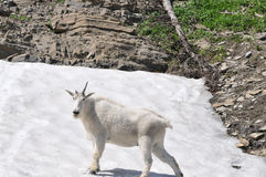 Mountain Goat with one Horn Stock Photo