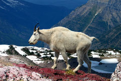 Mountain Goat (Oreamnos americanus). At Sperry Glacier in Glacier National Park - Montana stock photos