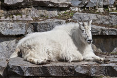 Mountain goat (Oreamnos americanus). In the Moscow zoo Stock Images