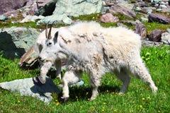 Mountain Goat (Oreamnos americanus) Stock Image