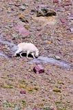 Mountain Goat, Oreamnos americanus Royalty Free Stock Photos