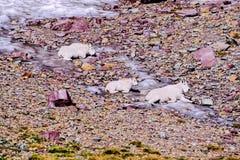 Mountain Goat, Oreamnos americanus Royalty Free Stock Image