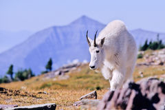 Mountain Goat, Oreamnos americanus Royalty Free Stock Photos